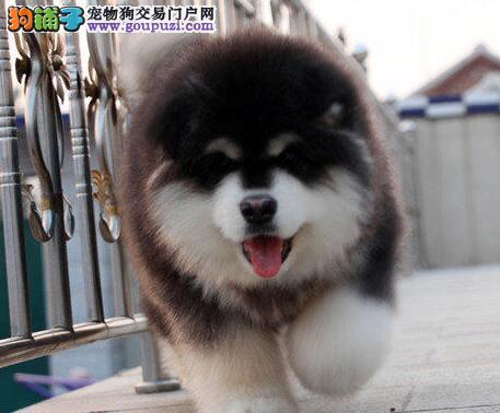 低价转让精品广州阿拉斯加雪橇犬包养活