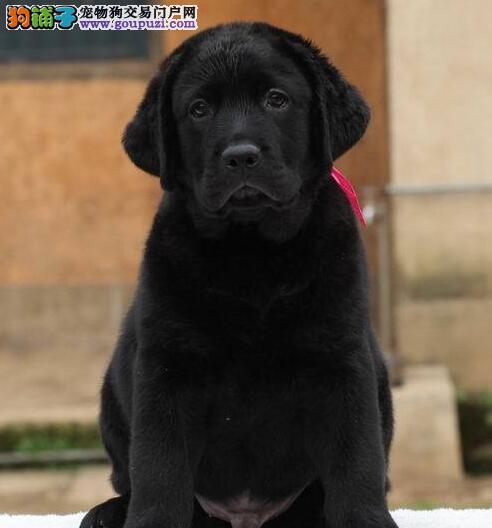 郑州热卖拉布拉多多只挑选视频看狗签署各项质保合同