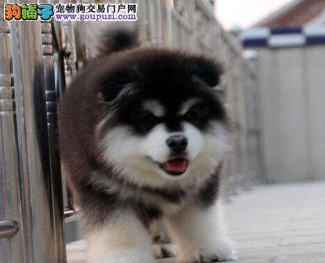 天津热销阿拉斯加犬颜色齐全可见父母期待您的来电咨询