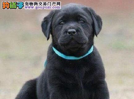 高端拉布拉多幼犬,品质极佳品相超好,签订正规合同