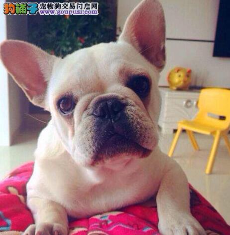 天津出售法国斗牛犬颜色齐全公母都有同城免费送货上门