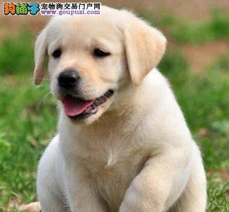 太原正规犬舍繁殖赛级品质拉布拉多幼犬 非诚勿扰