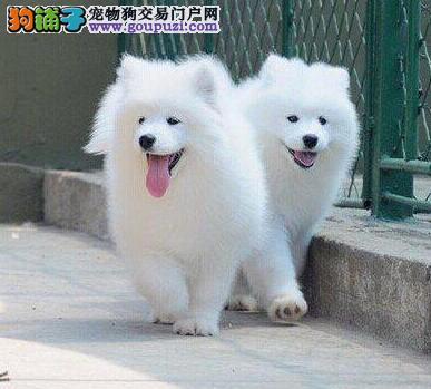 三亚正规狗场出售雪白无水锈的萨摩耶幼犬 欲购从速