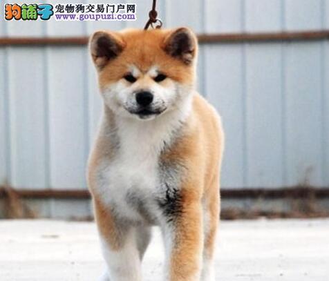 最大培育中心售顶级秋田幼犬 太原周边可免费送货