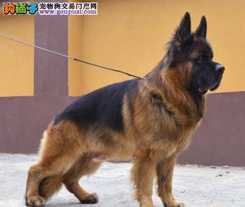成都自家犬舍低价转让纯种德国牧羊犬 价格可优惠