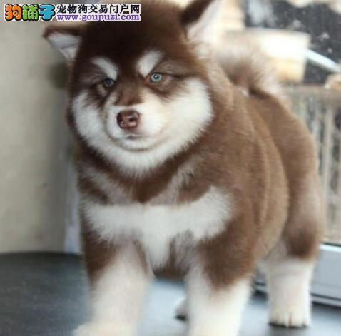 出售阿拉斯加犬幼犬 CKU品质绝对保证 三包终生协议