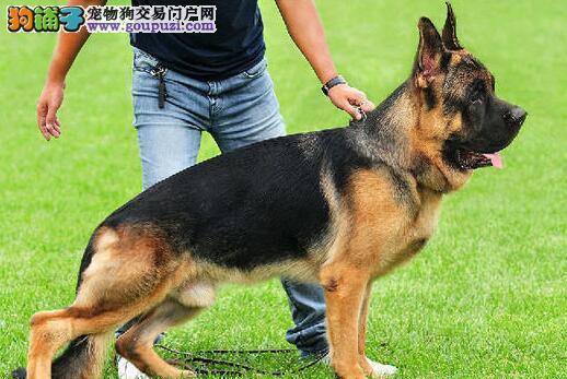 实物拍摄的德国牧羊犬找新主人包养活包退换