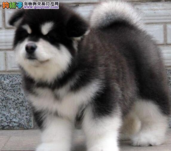 纯种阿拉斯加犬绝对保障品质广州地区随时参观