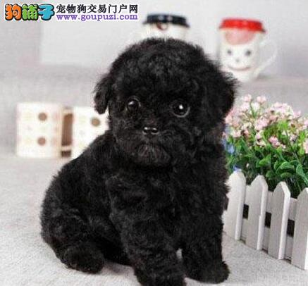 乌鲁木齐出售极品泰迪犬幼犬完美品相我们承诺售后三包