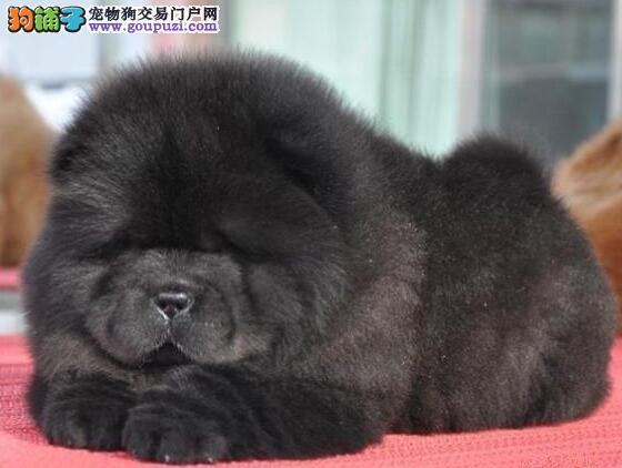 深圳纯种肉嘴松狮毛量足活泼聪明品质优良
