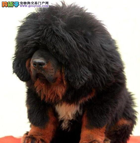 大狮子头品相极佳的合肥藏獒幼崽找新家 签订购犬协议