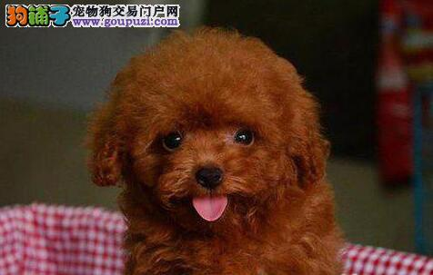 品质极佳血统纯正的合肥贵宾犬找新家 签订正规协议书