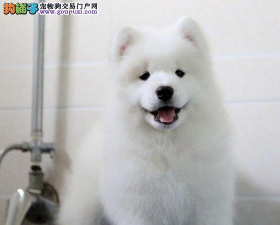 专业犬舍专业繁殖转让微笑天使萨摩耶三亚地区可送货