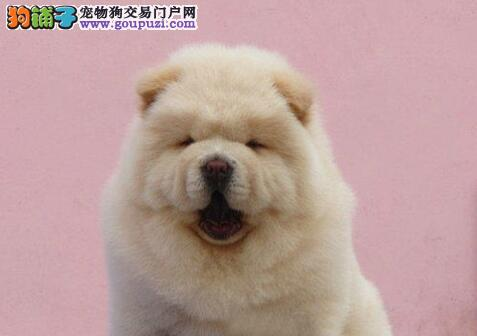 肉嘴憨厚的松狮犬特价优惠出售中 苏州市内可免费送货