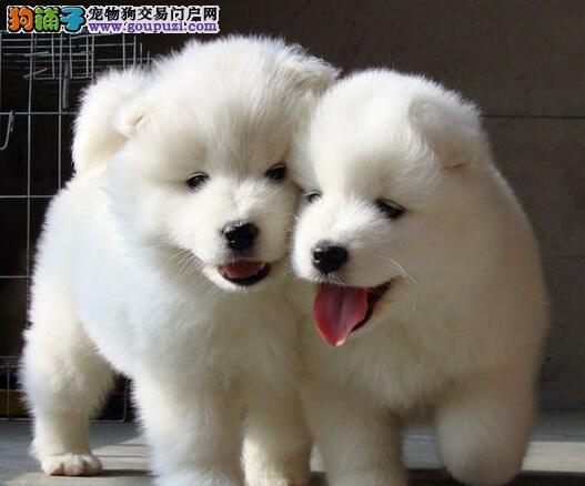 转让澳版微笑天使品相的上海萨摩耶幼犬 签署合法协议
