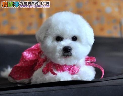 出售棉花糖版甜美脸型的徐州比熊犬 我们承诺售后三包