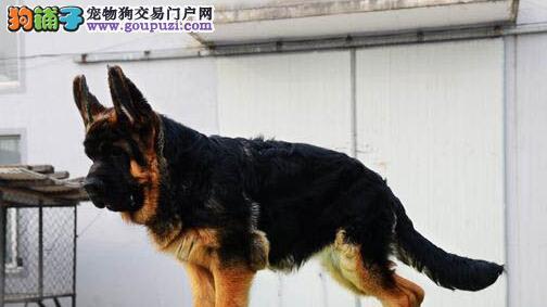 高级护卫犬 德国锤系大头德牧幼犬濮阳火热促销 带耳号