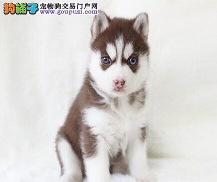 转让品质好血统纯的淄博哈士奇幼犬 三把火双蓝眼