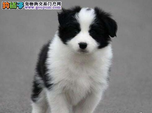 超高智商易训练的广州边境牧羊犬找新家 狗贩子请绕行