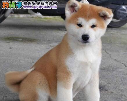 出售毛色纯正靓丽活泼的和平秋田犬 终身免费售后服务