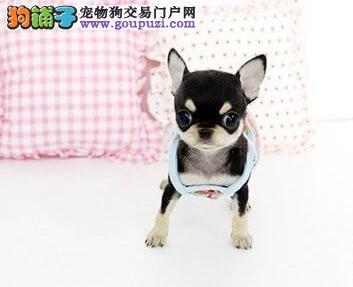 出售墨西哥纯血统的广州吉娃娃幼犬 可当面选购看种犬