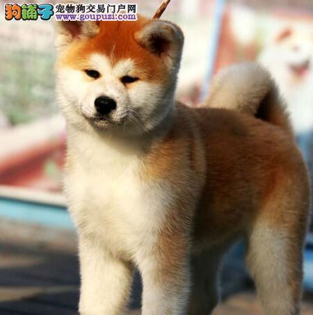 精品纯种秋田犬出售质量三包冠军级血统品质保障