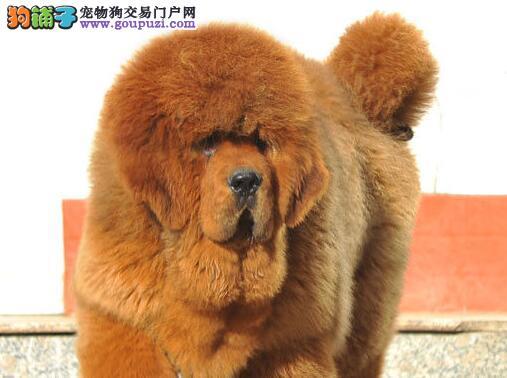 徐州知名獒园出售大狮子头藏獒幼崽 完美品相超低价位