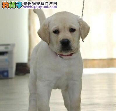犬舍出售纯种石家庄拉布拉多犬购买可送货