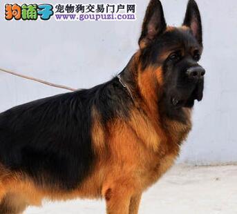 呼和浩特实体狗场出售德国牧羊幼犬 大骨骼爆毛量