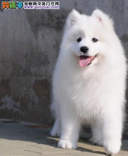 贵阳实体狗场低价出售雪白色萨摩耶幼犬 狗贩子请绕行