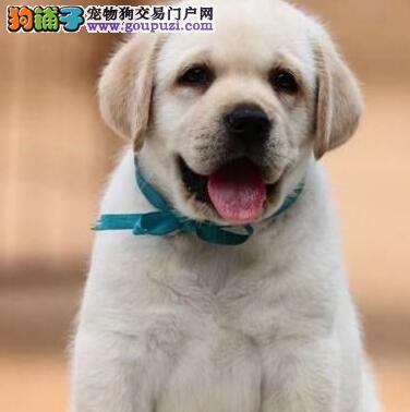 拉登血系深圳拉布拉多犬热销 血统纯正颜色多公母齐全