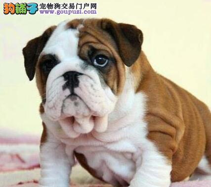 石家庄专业犬舍出售血统纯正斗牛犬品种齐全