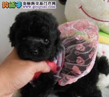 石家庄知名犬舍售茶杯血系泰迪犬 颜色齐全质保终身