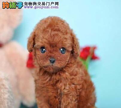 深红色完美品相的巨型贵宾犬找新家 仅限深圳朋友选择
