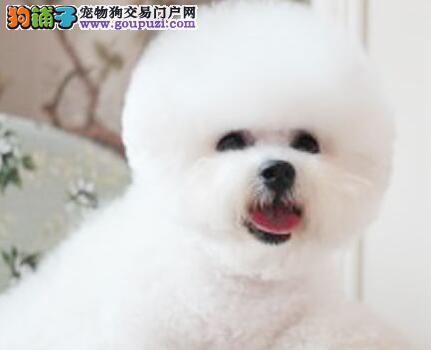 大型狗场促销好品质郑州比熊犬包养活保证质量