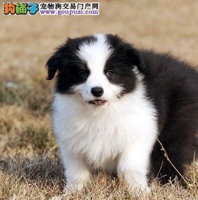 上海地区出售高品质边境牧羊犬