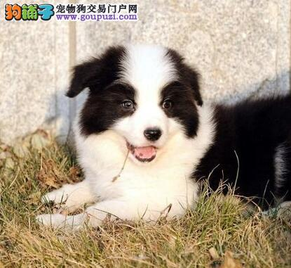 家养极品边境牧羊犬热卖武汉周边地区可上门看狗