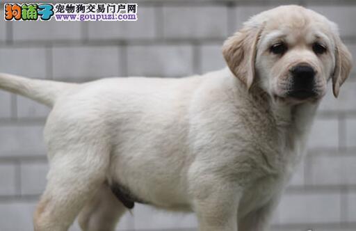 大骨架大头版的南宁拉布拉多犬找新家 签订合法协议