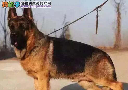 重庆最大的德国牧羊犬基地 完美售后重庆当地上门挑选