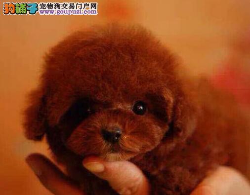 广州贵宾犬迷你超小体 实物拍摄 预购从速