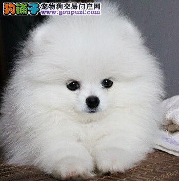 南宁大型养殖场出售实物拍摄的博美犬 签订售后协议