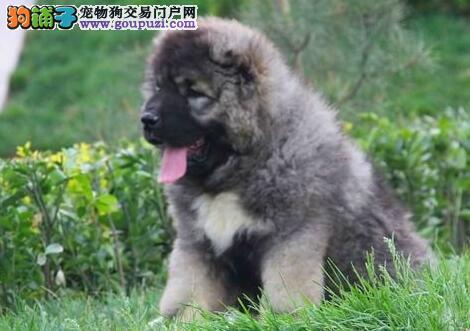 广州犬舍出售高品质高加索犬保健康可上门看狗