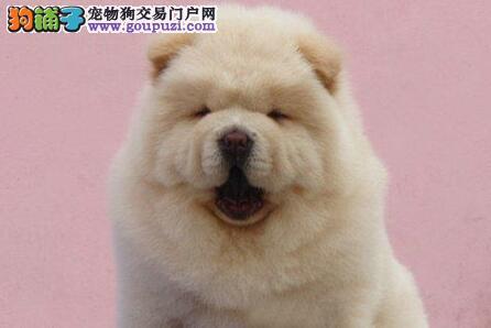 广州狗场出售肉嘴紫舌头憨厚忠诚的松狮犬 狗贩子勿扰