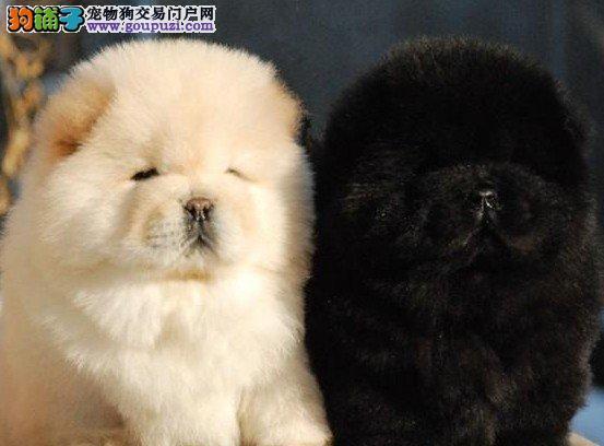 天津顶尖犬舍出售大嘴紫舌松狮犬 可签署协议书