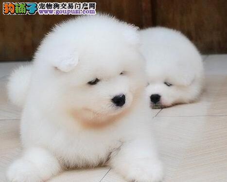 青岛正规养殖场低价出售萨摩耶幼犬 我们承诺售后三包