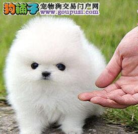 顶级优秀博美犬低价出售 可来泉州犬舍签订终身质保书