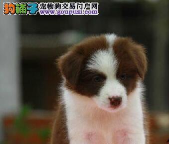 繁殖基地出售多种颜色的边境牧羊犬签订协议包细小犬瘟热