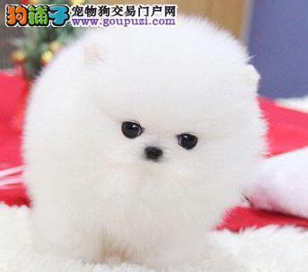 武汉出售颜色齐全身体健康博美犬爱狗人士优先