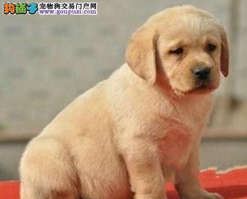 西宁养殖基地直销拉布拉多犬 售前售后热情服务
