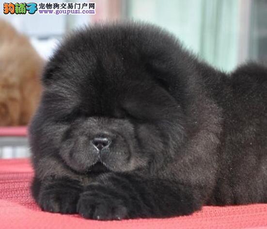 国际注册犬舍 出售极品赛级松狮幼犬欢迎您的指导
